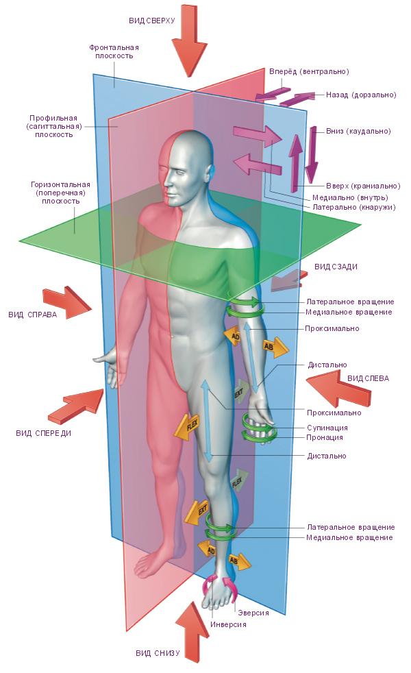 Плоскости тела.